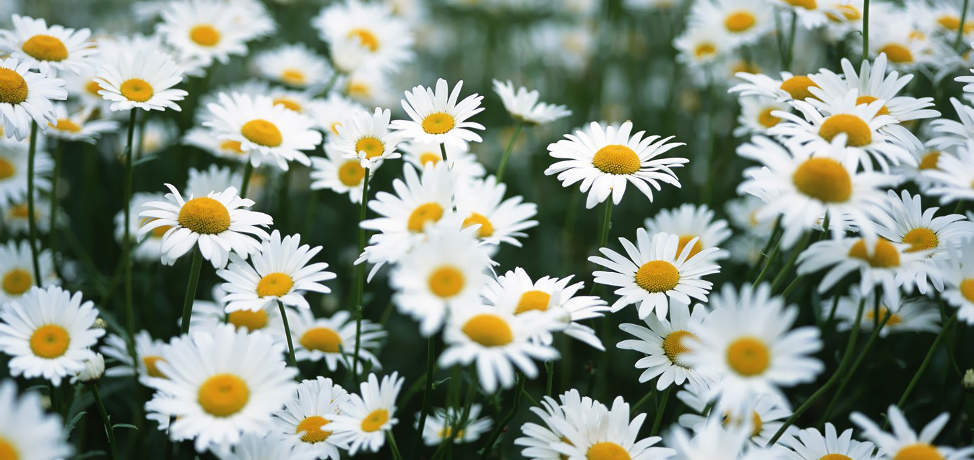 10 daisy-like flowers you can plant in your garden