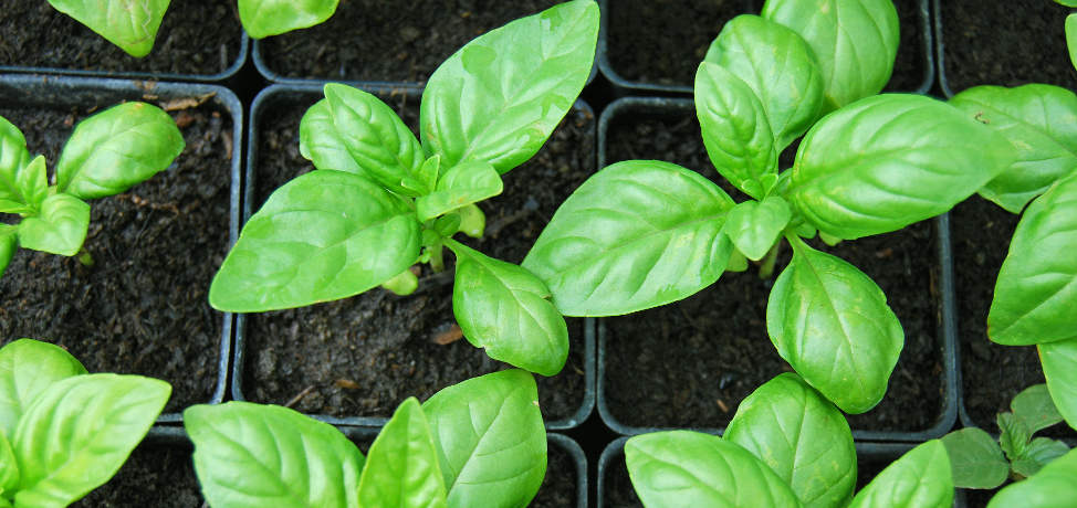 5 tips for how to grow basil in containers