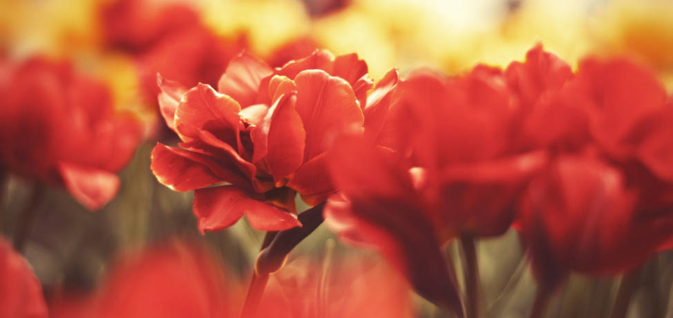 Choose red flowers for a garden full of life and color